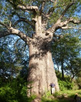 The Grandad of Baobab trees, Impalila Island.